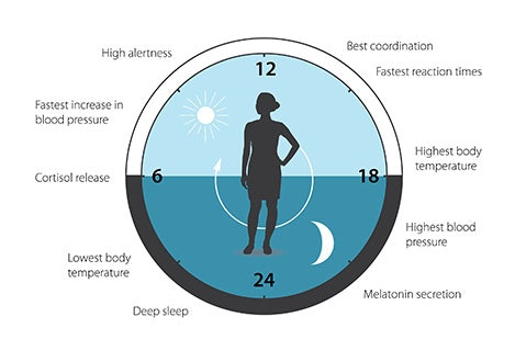 A diagram of how the body clock functions.
