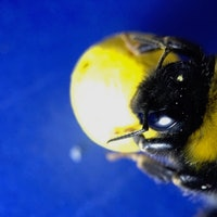 We Taught Bees to Play Soccer to Learn About Their Brain