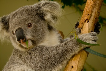 koalas eucalyptus leaves
