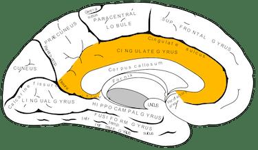 posterior cingulate cortex anterior cingulate cortex