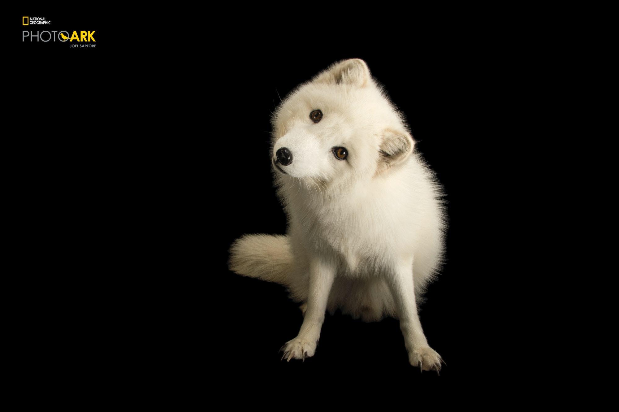 joel sartore the photo ark arctic fox