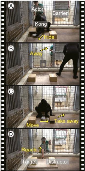 chimp hiding experiment