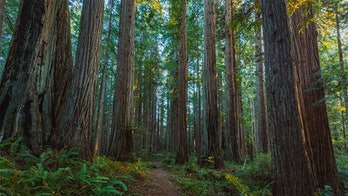 redwoods large trees
