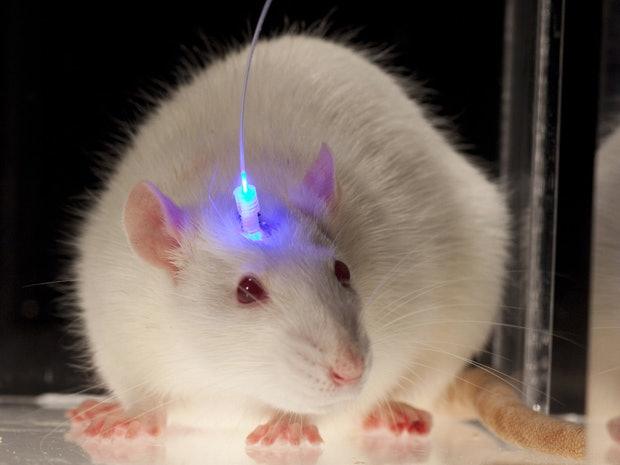 mice meditation optogenetics