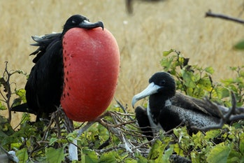 frigate bird mating display