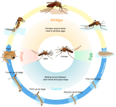 mosquito life stage