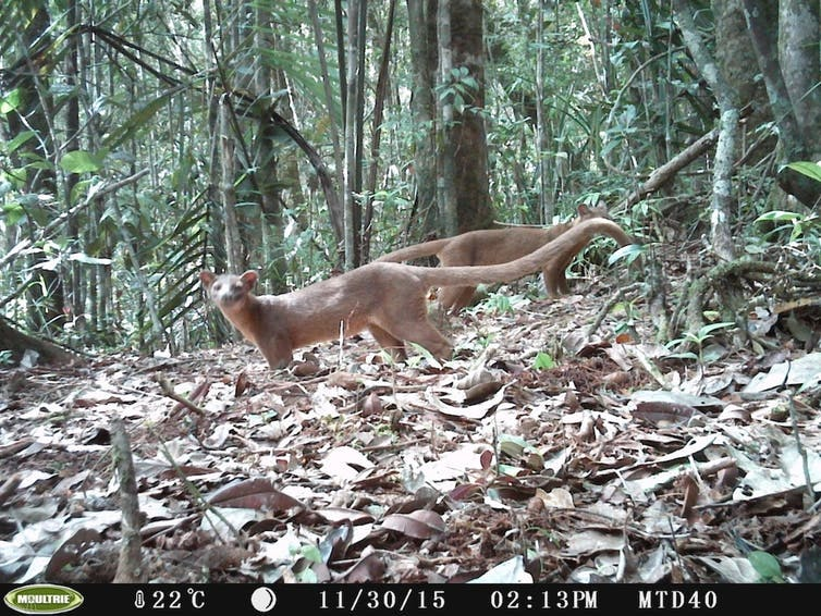 Two male fossa captured on camera in northeastern Madagascar.