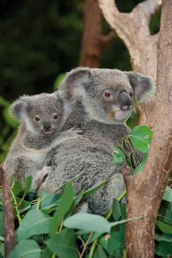 koala and baby