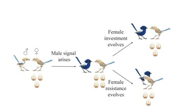 Bird courtship, like human courtship, is deceptively complicated