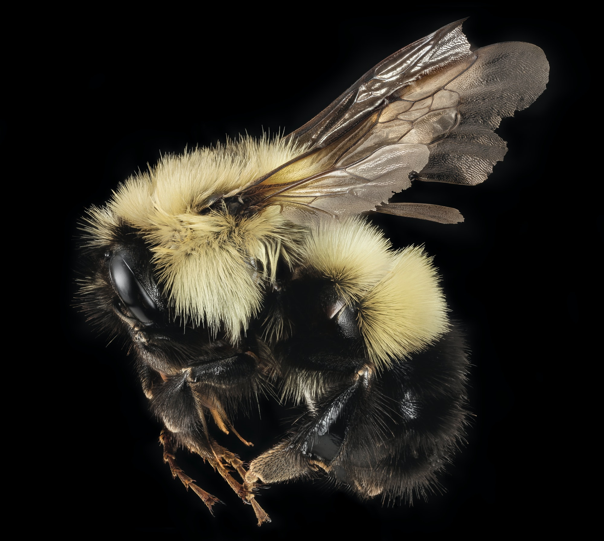 """A series of pictures of a queen and a male of the northernish bumble bee Bombus vagans. Still a reasonable common component of northern Appalachian systems, its been retreating from its lower elevation and southern edges over the last century. Whether the issues are climate change or the myriad of other factors that control what critter occurs in what place is hard to come to firm conclusions. In any case these came from a collecting expedition and Bioblitz in the Adirondack Mountains of New York. Note the long face and the first 2 abdomominal segments with yellow hairs. Plush! Photographs by Brooke Alexander.~~~~~~~~~~{{{{{{0}}}}}}~~~~~~~~~~All photographs are public domain, feel free to download and use as you wish.Photography Information:Canon Mark II 5D, Zerene Stacker, Stackshot Sled, 65mm Canon MP-E 1-5X macro lens, Twin Macro Flash in Styrofoam Cooler, F5.0, ISO 100, Shutter Speed 200Beauty is truth, truth beauty - that is all Ye know on earth and all ye need to know """" Ode on a Grecian Urn"""" John KeatsYou can also follow us on Instagram - account = USGSBIMLWant some Useful Links to the Techniques We Use? Well now here you go Citizen:Art Photo Book: Bees: An Up-Close Look at Pollinators Around the Worldwww.amazon.com/Bees-Up-Close-Pollinators-Around-World/dp/...Free Field Guide to Bee Genera of Marylandhttp://bio2.elmira.edu/fieldbio/beesofmarylandbookversion1.pdf Basic USGSBIML set up:www.youtube.com/watch?v=S-_yvIsucOYUSGSBIML Photoshopping Technique: Note that we now have added using the burn tool at 50% opacity set to shadows to clean up the halos that bleed into the black background from """"hot"""" color sections of the picture.www.youtube.com/watch?v=Bdmx_8zqvN4Bees of Maryland Organized by Taxa with information on each Genuswww.flickr.com/photos/usgsbiml/collectionsPDF of Basic USGSBIML Photography Set Up: ftp://ftpext.usgs.gov/pub/er/md/laurel/Droege/How%20to%20Take%20MacroPhotographs%20of%20Insects%20BIML%20Lab2.pdf Google Hangout Demonstration of Technique"""