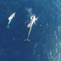Drones Capture Blue Whales in the Wild
