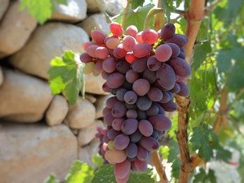 grapes polyphenols