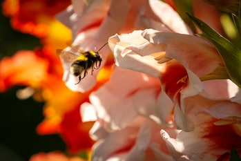 Bumblebees are social insects which form colonies with a single queen. Colonies are smaller than those of honeybees, growing to as few as 50 individuals in a nest. Female bumblebees can sting repeatedly, but generally ignore humans and other animals. Cuckoo bumblebees do not make nests; their queens aggressively invade the nests of other bumblebee species, kill the resident queens and then lay their own eggs which are cared for by the resident workers. Bumblebees have round bodies covered in soft hair (long, branched setae), called pile, making them appear and feel fuzzy. They have aposematic (warning) coloration, often consisting of contrasting bands of colour, and different species of bumblebee in a region often resemble each other in mutually protective Müllerian mimicry. Harmless insects such as hoverflies often derive protection from resembling bumblebees, in Batesian mimicry, and may be confused with them. Nest-making bumblebees can be distinguished from similarly large, fuzzy cuckoo bees by the form of the female hind leg. In nesting bumblebees, it is modified to form a pollen basket, a bare shiny area surrounded by a fringe of hairs used to transport pollen, whereas in cuckoo bees, the hind leg is hairy all round, and pollen grains are wedged among the hairs for transport. Like their relatives the honeybees, bumblebees feed on nectar, using their long hairy tongues to lap up the liquid; the proboscis is folded under the head during flight. Bumblebees gather nectar to add to the stores in the nest, and pollen to feed their young. They forage using colour and spatial relationships to identify flowers to feed from. Some bumblebees rob nectar, making a hole near the base of a flower to access the nectar while avoiding pollen transfer. Bumblebees are important agricultural pollinators, so their decline in Europe, North America, and Asia is a cause for concern. The decline has been caused by habitat loss, the mechanisation of agriculture, and pesticides.