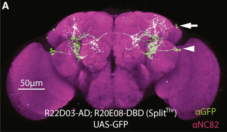 fruit fly neurons