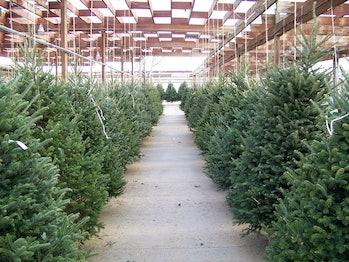 Christmas tree lot.