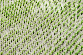 Bacteria in rice paddies produce methane, but recently scientists have started culturing bacteria that consume it. Could M. gorgona join the arsenal of greenhouse gas-eating bacteria?