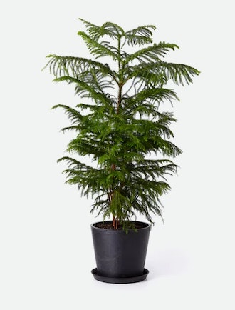 Bloomscape Norfolk Pine
