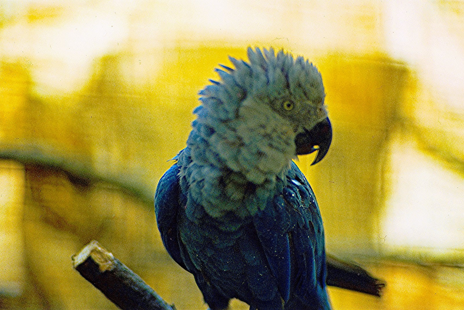 Spix's macaw, lost species