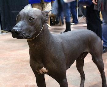 Xoloitzcuintli (Mexican hairless dog)