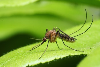 mosquito on a leaf