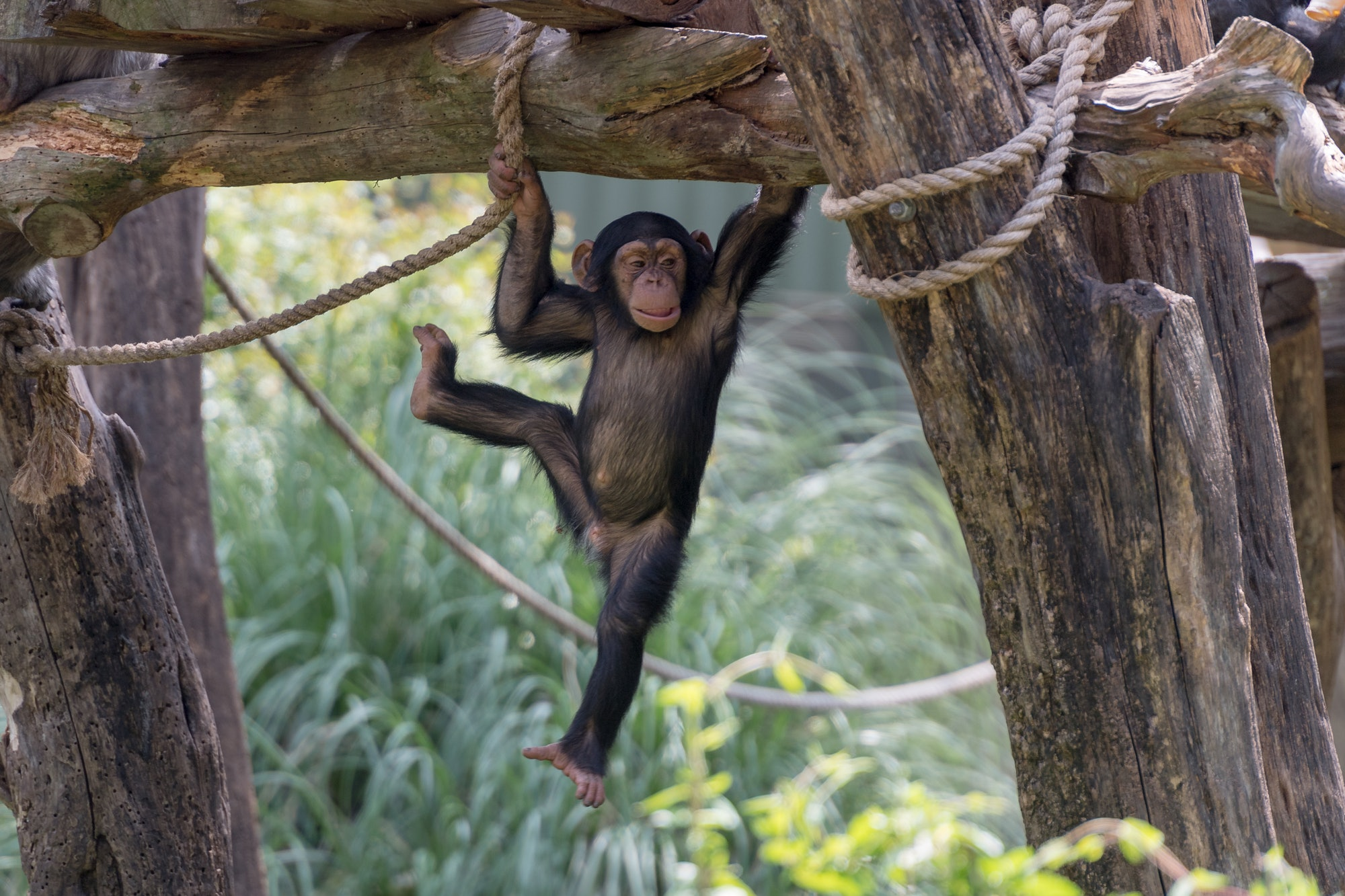 Little Chimp Hanging