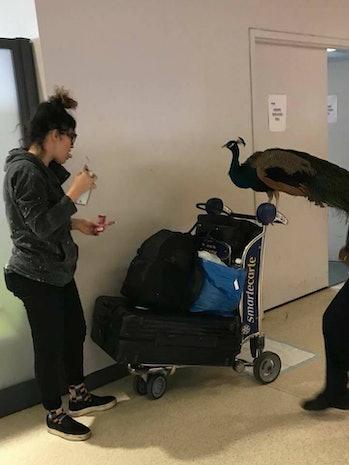 peacock, travel