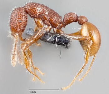 Tyrannomyrmex rexant