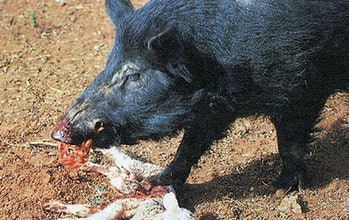 "A hog in Australia eats a lamb. Rodriguez calls feral hogs ""ecological zombies"" because they'll eat pretty much anything."