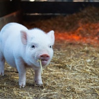 Injectable Pig Heart Tissue Is the Future of Recovering From Heart Attacks