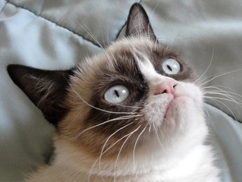 grump cat internet popular cute genetic mutation dwarfism