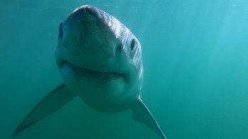 Topy Daly-Engel says her team's research shows how small the populations of great white sharks are.