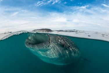 Whale shark eating plankton.