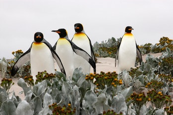 King penguins, climate change