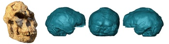 """""""Little Foot's"""" skull and a 3-D rendering of the endocast."""