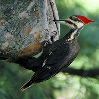 Superbowl: What Woodpecker Brains Tell Us About CTE At The Game