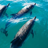 """""""Lost"""" genes transformed whales and dolphins into water-living creatures"""