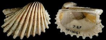 Anadaraaequalitas,a species ofbivalve