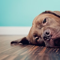 Dogs experience pain in a uniquely human way, study reports