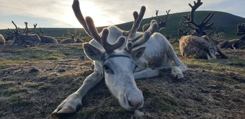 reindeer in northern Mongolia