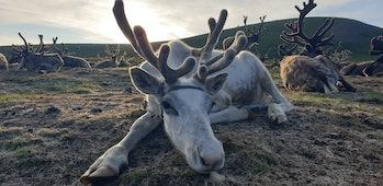 reindeer in northern Mongolia