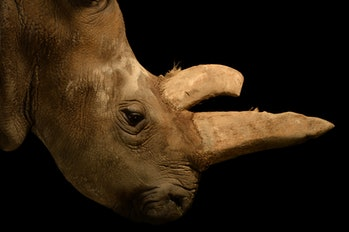 northern white rhino female