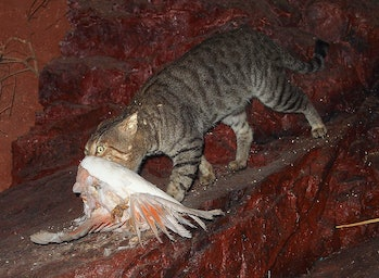 Feral cat with galah, mounted specimen