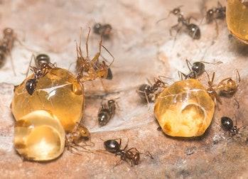 Close-up of three large replete honeypot ants (Myrmecocystus mimicus) at Oakland Zoo.