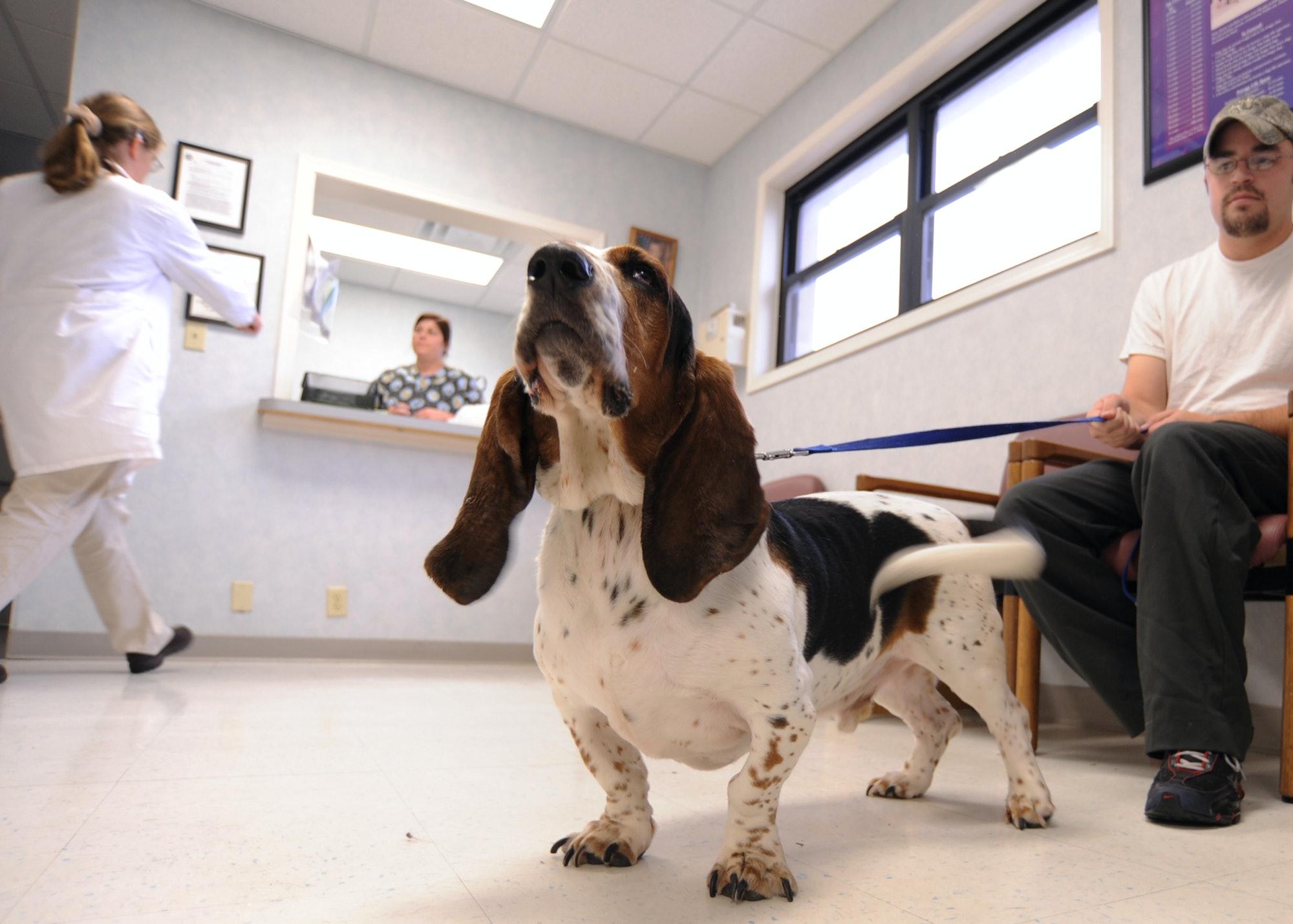 basset hound, dog, veterinarian