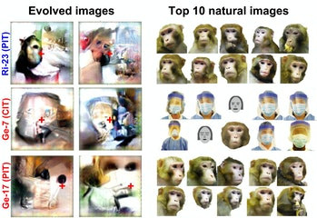 This figure shows natural images (right) and images evolved by neurons in the inferotemporal cortex of a monkey (left)