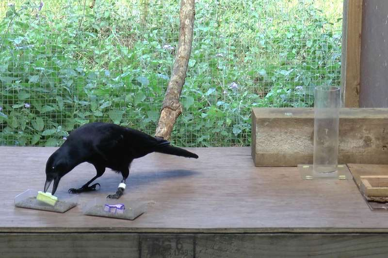 A New Caledonian crow selects an object after watching it blow in the wind to infer how heavy it is.
