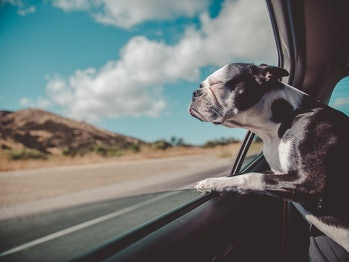 dogs riding in cars