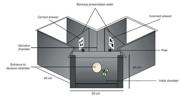 Bees were individually trained and tested in a Y-shaped maze where a sugar reward was presented on the pole directly in front of the correct stimulus