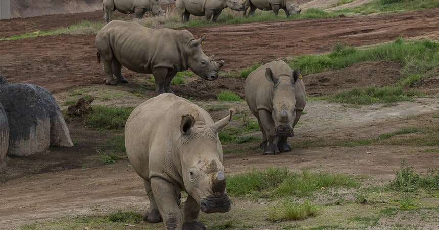 rhinos, San Diego Zoo Safari Park