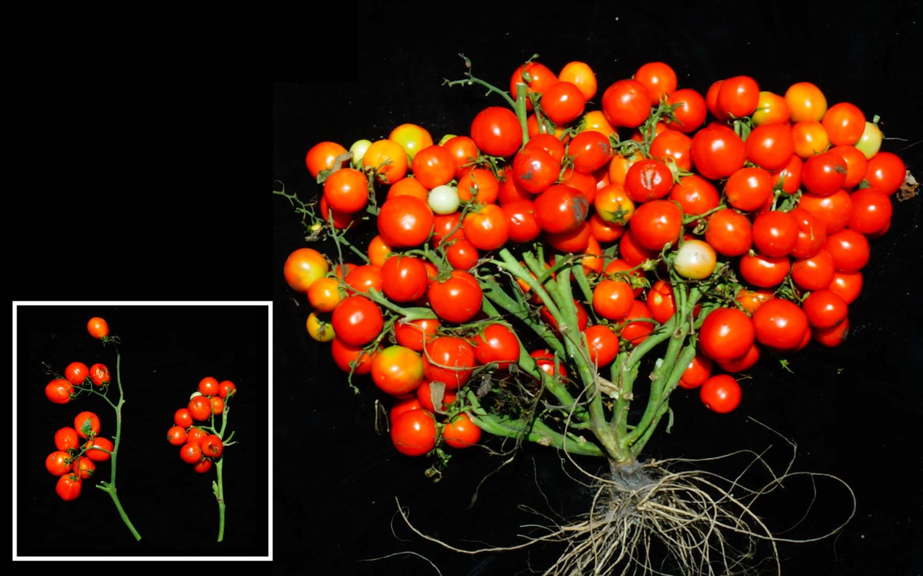 cherry tomatoes on a vine with black background